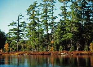 Eastern White Pine, which is used for Honest Abe's log homes, is a major species for reforestation, making it a plentiful and renewable resource.